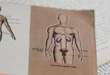 anatomie masculine
